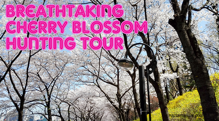 Breathtaking Cherry Blossom Hunting Tour