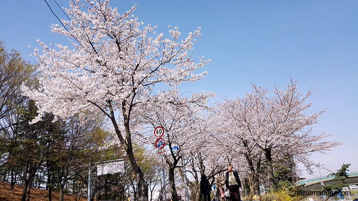 Cherry blossom at Yeouido Park